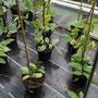 Cobea ( Glockenrebe)- Kletterpflanze mit großen lila Glocken bis zum Frost wunderschön