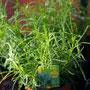 Olivenkraut  für die mediterane Küche - bedingt winterhart