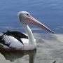 Pelikane gibts überall...