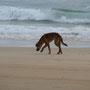 Ein Dingo, vorsicht!