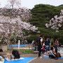 Hanami - die Japaner feiern die Öffnung der Kirschblüte und sitzen auf Matten in den vielen Parks