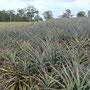 Zurück auf dem Festland: Ananasfeld in den Glasshouse Mountains