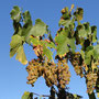 Bei Rutherglen sind wir durch schöne Weingebiete gefahren