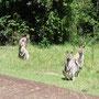 Endlich die ersten Känguruhs!