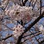 Cherry blossom: zu dieser Zeit gibt es sogar Eiscreme sowie Brötchen in diesem Geschmack