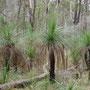 """Unterwegs in der Gegend um Kooralbyn mit schönen """"Grasstree""""..."""