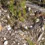 eine der Giftschlangen Tasmaniens