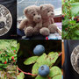 Saubären, Teddybären, Heidelbeeren, Salmon berries in Alaska und ....