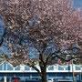 Frühling in Poulsbo
