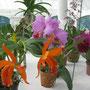 Orchideen (Botanischer Garten von Rio)