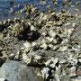 Austern wohin man schaut