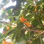 2013年10月 金木犀の薫る季節になりました。