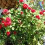 赤の薔薇 プランターなのに咲き続けてます かれこれ 7年位かな・・?