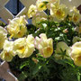 冬の花こじんまりと強く咲いてます(*^^)v