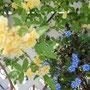 小さな 星の花 今年も可愛く(^_-)-☆