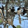 Die Colobus Affen sind hier eine Attraktion