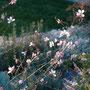 Blühende Prachtkerze (Gaura) im Hochbeet