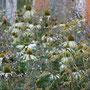 Blütenbild mit Echinacea