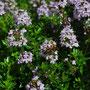 Thymus 'Herba barona'