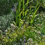 Origanum vulgaris 'Thumble variety'