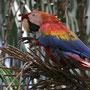 Scarlet Macaw (Ara macao) - Rio Napo rainforest, Peru