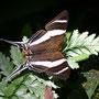 Orsilochus Daggerwing (Marpesia orsilochus) - Rio Tambopata rainforest, Peru