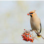 Pestvogel 10-11-16 Nikon D3300 : 1/800 ISO 800 f5,6
