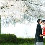 桜満開の中でキス