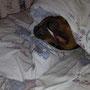 Ein echter Pinscher schläft unter der Decke