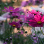 「秋桜」1