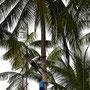 Die Jungs klettern wie Äffchen die Palmen hoch