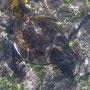 Meerschildkröte