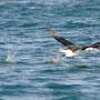 Albatros auf dem Weg zur Isla de Pingüinos