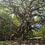 Sehr alter Baum