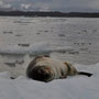 Seeleopard (Raubtier)