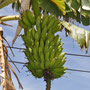 Bananenstaude in Cilaos