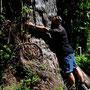 Energie tanken am 3000 Jahre alten Alerce-Baum