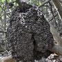 Termitennest