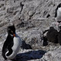 Rockjumper Pinguine