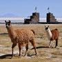 Lamas beim Tor von Coqueza