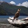 Caracara am Lago Currhue, P.N. Lanin