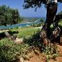 ...unterwegs... Olivenplantagen...