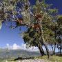 Märchenhafte Bäume inmitten der Ruinen