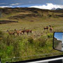 Guanacos - Safari in Chile