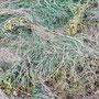 In Blüte geschnitten erfolgt nach 1-2 Tagen die Notreife: Samen werden gebildet und verbleiben am Boden