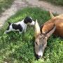 Dinos Gummigehörn, Marias 8wöchiger Terrier