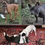Coco, Boxer; Nica, französische Bulldogge; Gini, Boston Terrier und Mini, Chihuahua