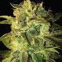 Erntereife Cannabis Hanfblüte Marihuana Buds
