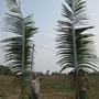 die ersten palmwedel sind zum eingraben bereit