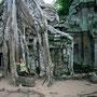 riesige bäume haben einige tempel in beschlag genommen